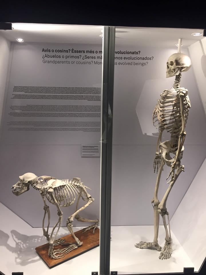 Museo Blau evolución humana