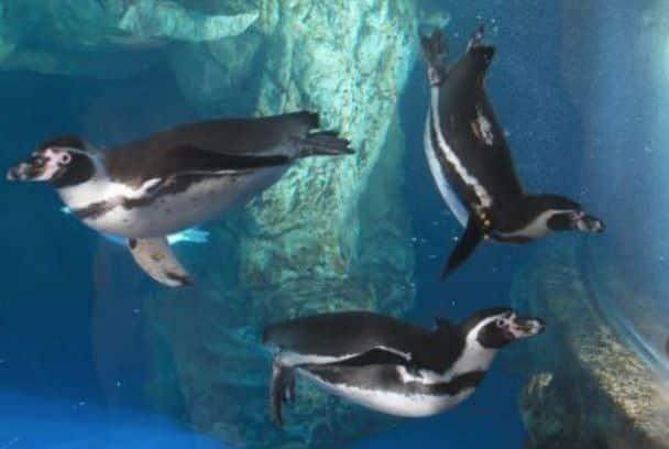 Pingüinos Humboldt