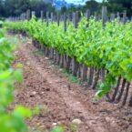Imagen de uno de los viñedos